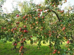 яблоня дерево